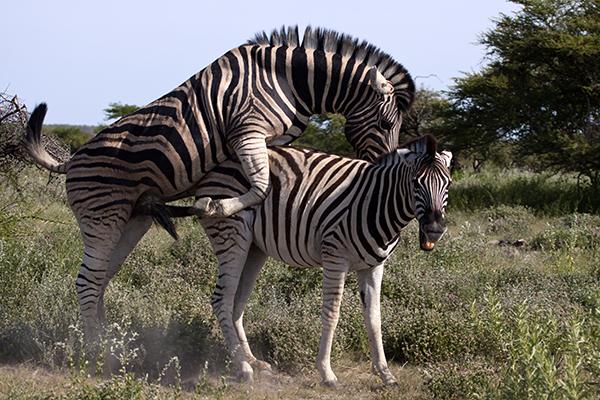 Zebras mating - photo#24