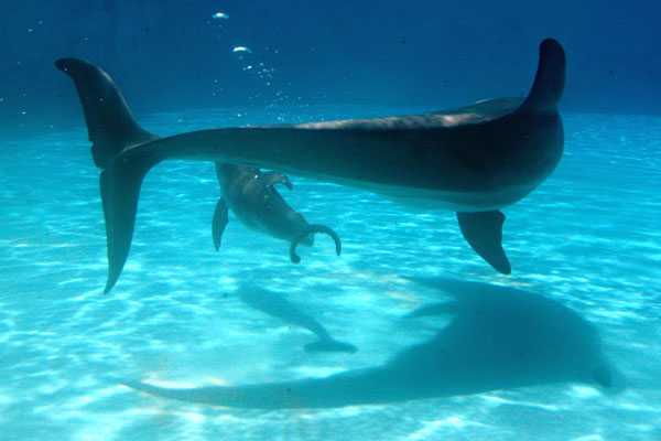 Dolphins Reproduction - Photografrica