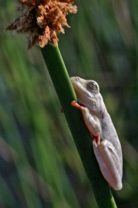 foam_nest_frog_photografrica_1