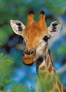 giraffe_photografrica_4
