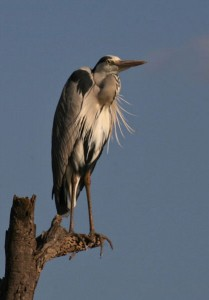 grey_heron_photografrica_1